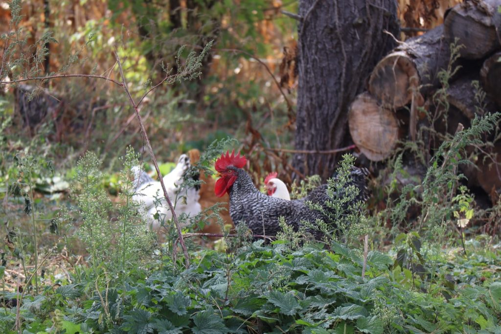 Forest chickens