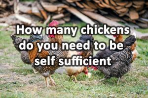 How many chickens do you need to be self sufficient