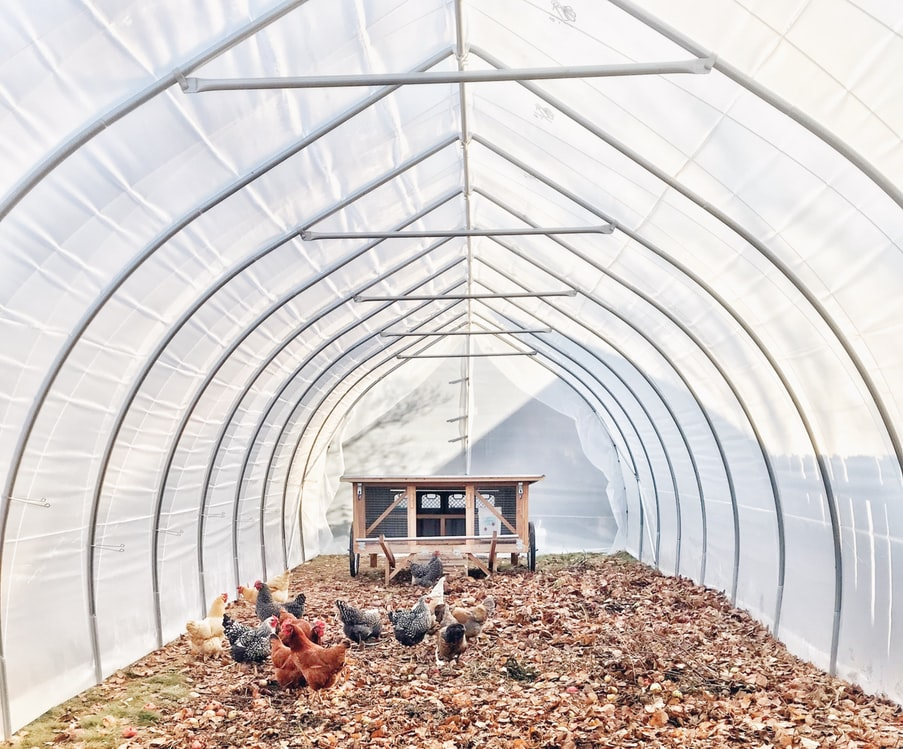 greenhouse chickens
